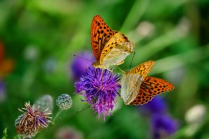 Butterflies in Garden